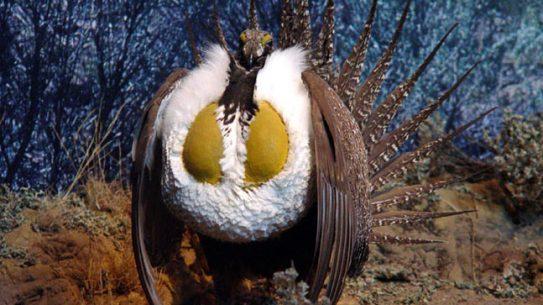 sage-grouse-strutting