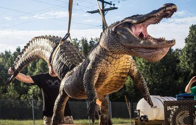 Marine Mississippi alligator